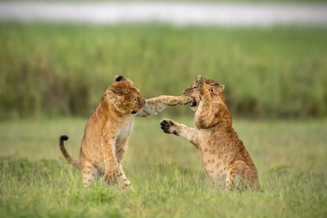 klein-yarin-lion-cubs_2020-05-26.jpg