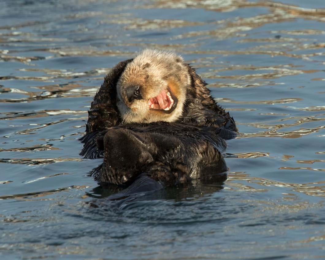 David-DesRochers-Laughing-Sea-Otter_2020-05-26.jpg