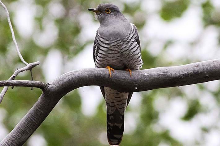 common-cuckoo_page_2020-05-28.jpg