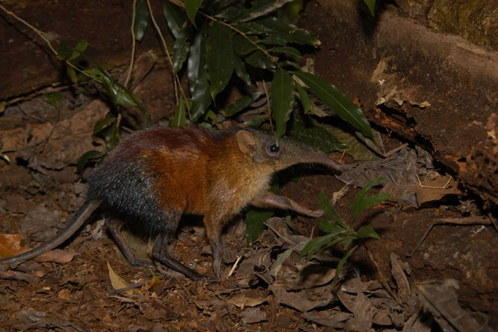 grey-faced-sengi_2020-06-01.jpg
