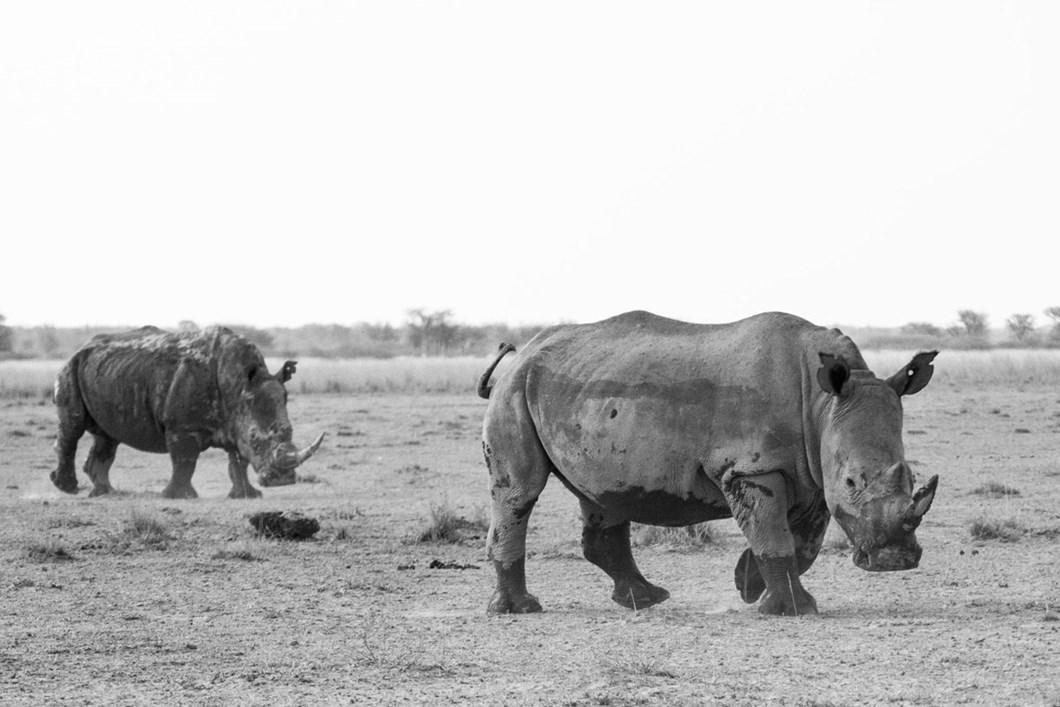 rhinos_2020-06-05.jpg