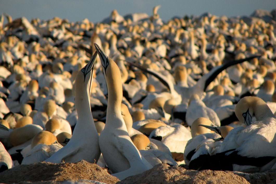 gannets_2020-06-05.jpg
