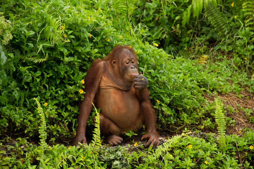 orangutan_2020-06-05.jpg