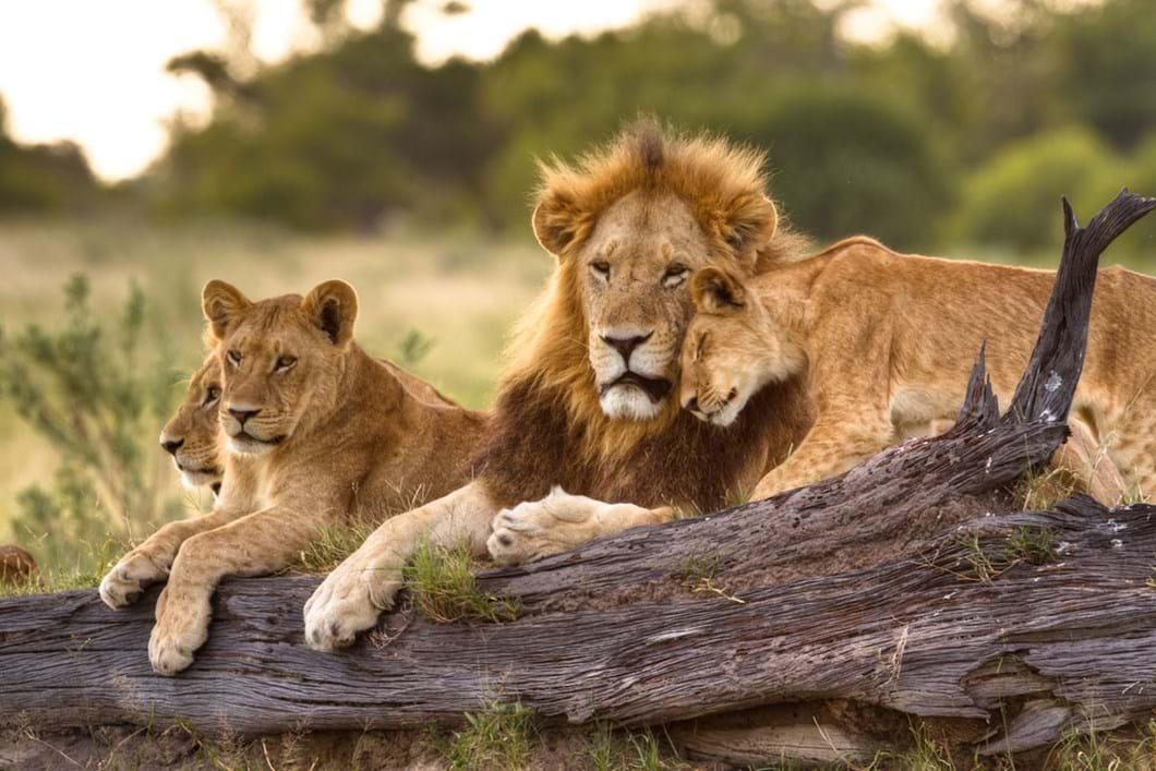 lion-pride_2020-06-05.jpg