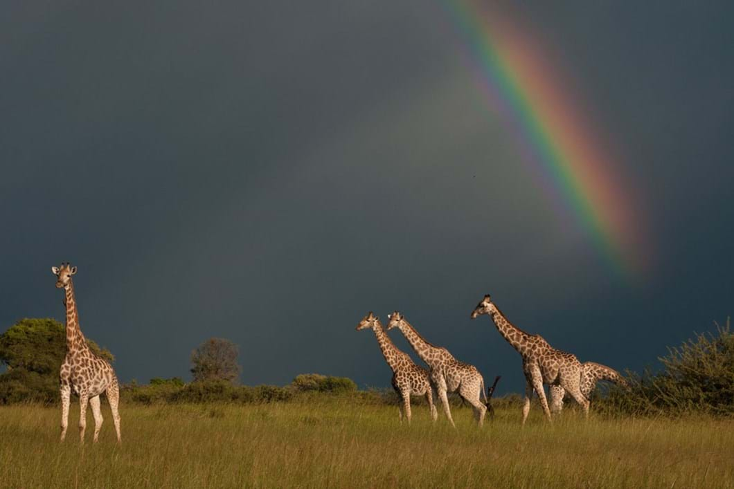 giraffe-rainbow_2020-06-05.jpg