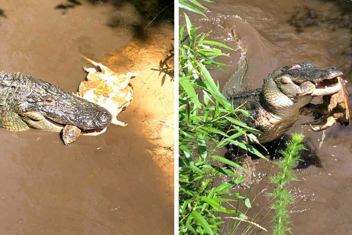 Watch: Snapping turtle meets an untimely end in the jaws of an alligator