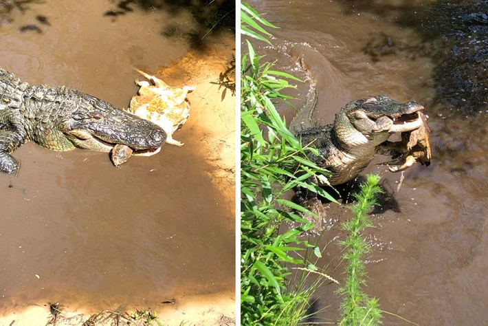 gator-snapping-turtle_2020-06-09.jpg