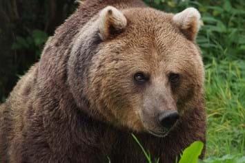 European_Brown_Bear_2020-06-16.jpg
