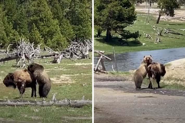 bison-bear_2020-06-22.jpg