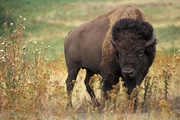 American_bison_2020-06-22.jpg