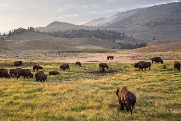 bison-herd-yellowstone_2020-06-22.jpg