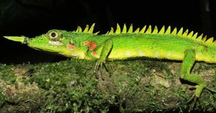 nose-horned-lizard_2020-06-23.jpg