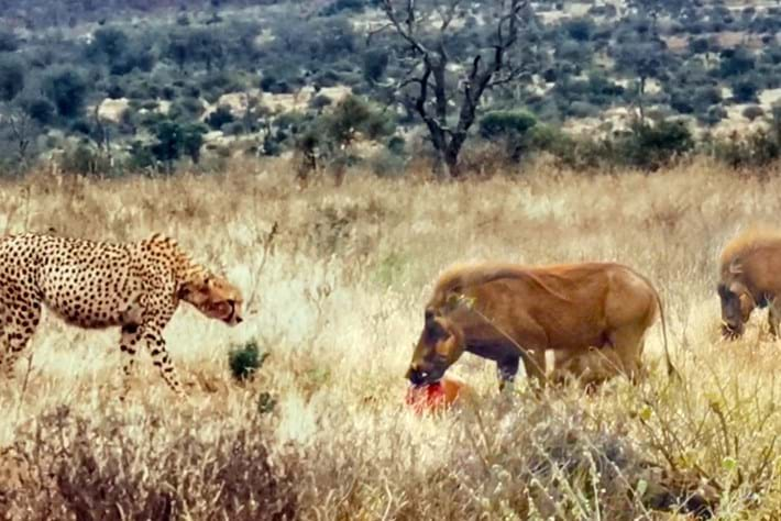 Watch: Meat-munching warthogs charge in to claim cheetah's kill