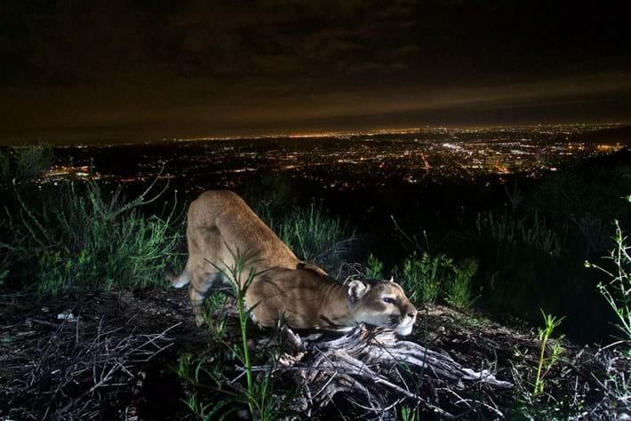 mountain-lion_2020-06-30.jpg