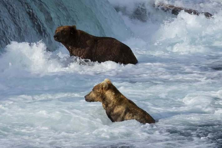 From bear cams to cougar science: Here's some good news from the natural world