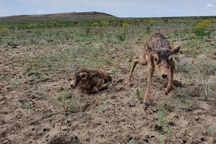 """Baby boom for """"sock-nosed"""" saiga raises hope for the critically endangered antelope"""