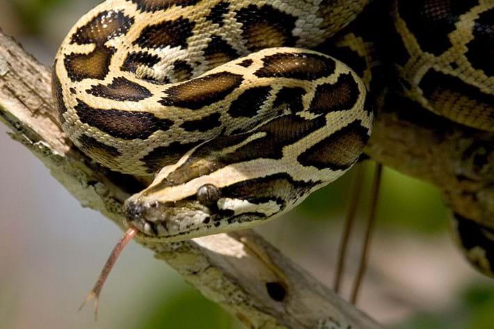 burmese-python_page_2020-07-16.jpg