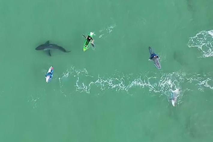 Incredible drone footage helps dispel myths about great white sharks