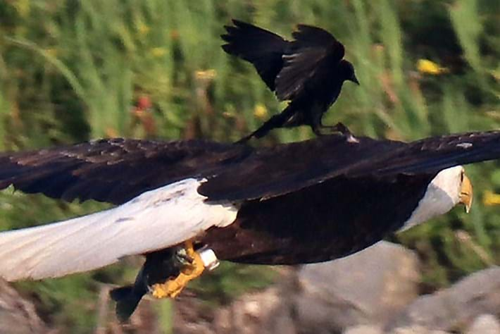 Why is this blackbird hitching a ride on the back of a bald eagle?
