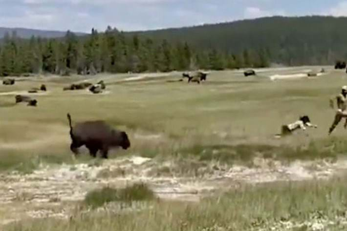 'Play dead!' Woman's close brush with a bison shows why you should keep your distance