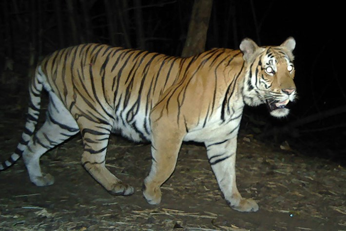 Rare sighting of tigers in Thailand sparks hope for the endangered species