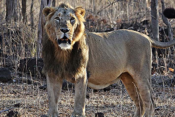 Endangered Asiatic lions have been making the news recently (for reasons good and bad)