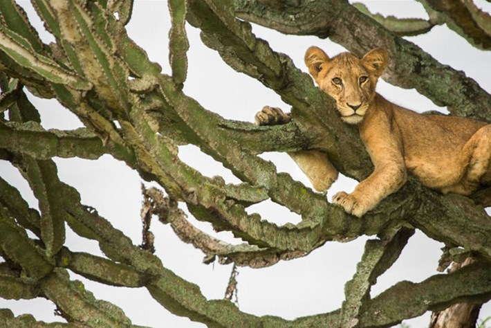 lion-in-tree_page_2020-08-07.jpg