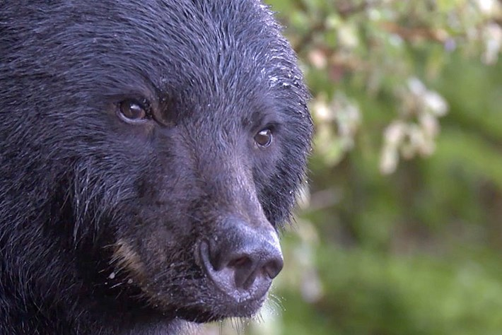 Behind the Scenes: Wildlife filmmakers on the art of capturing black bears on camera