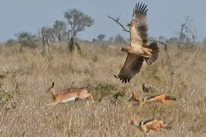 Watch: Antelope flees hunting jackals while an eagle attacks from the air