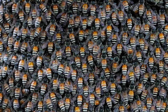 giant-asian-honey-bees_2020-08-13.jpg