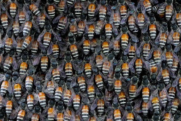 giant-asian-honey-bees_page_2020-08-13.jpg