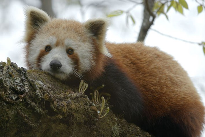 On The Brink – Season 1 – Red Panda