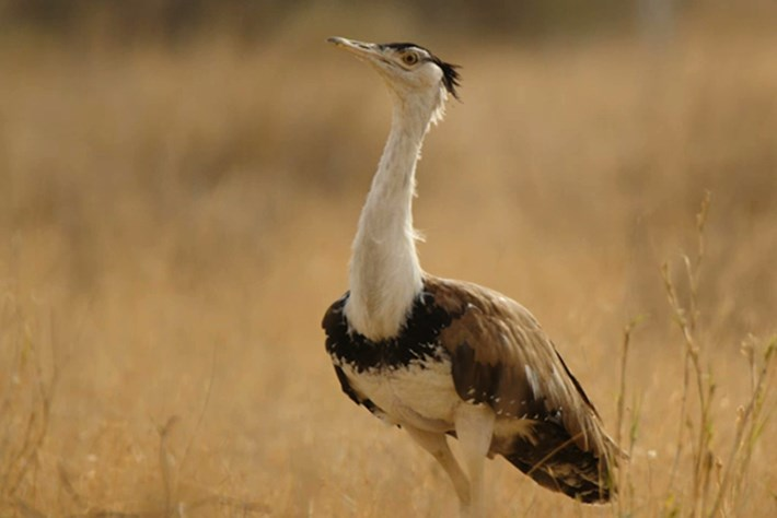On The Brink – Season 1 – Great Indian Bustard