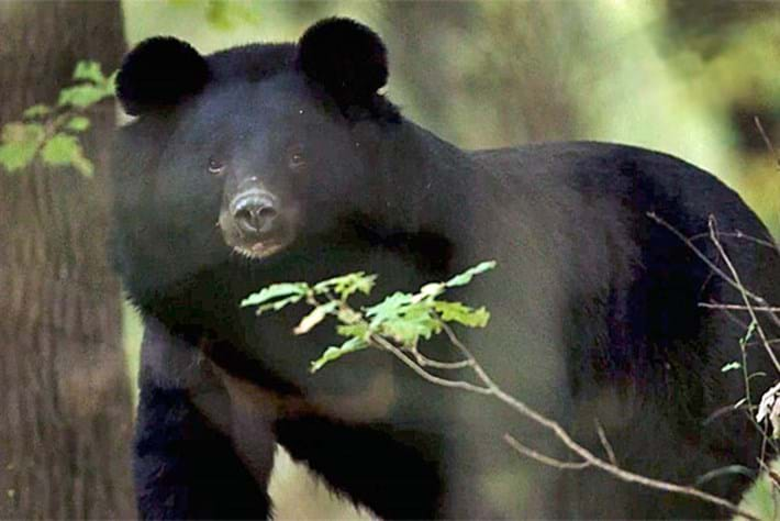 On The Brink – Season 1 – Asiatic Black Bear