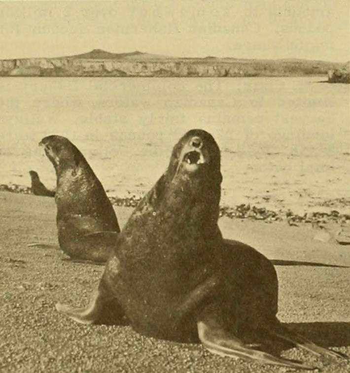 seal-vintage-wildlife_2020-08-19.jpg