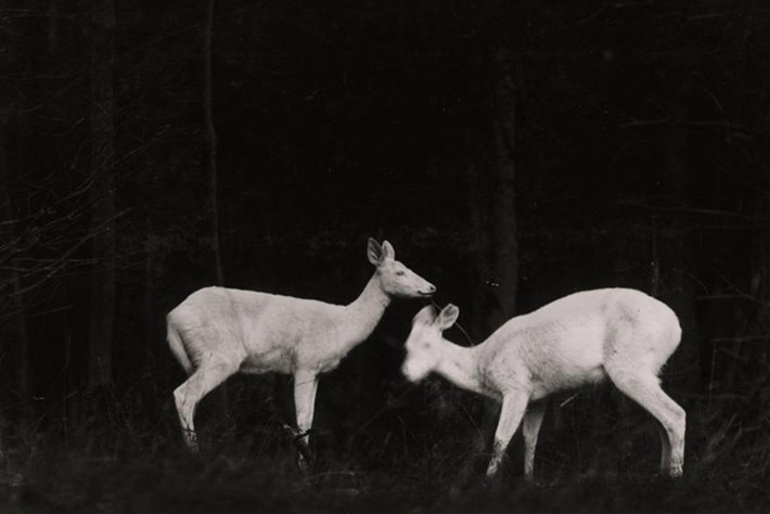 two-deer-in-the-woods-at-night-vintage-wildlife_2020-08-19.jpg