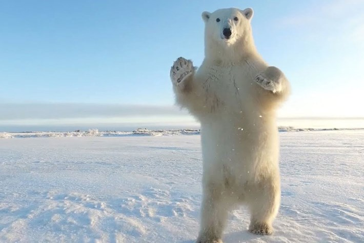 Watch: Polar bear plays with filmmaker's drone