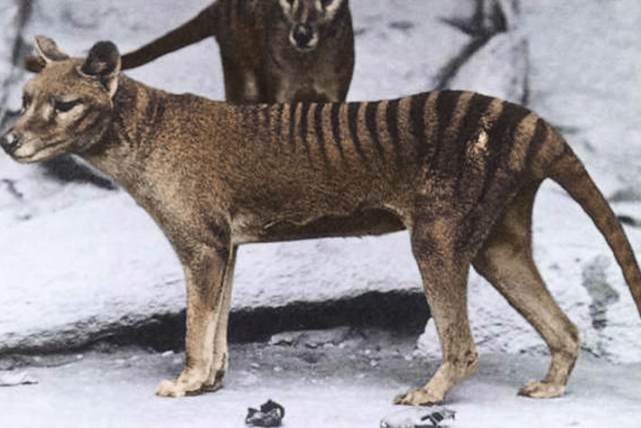 The Tasmanian tiger was hunted to extinction as a 'large predator' – but it was only half as heavy as we thought