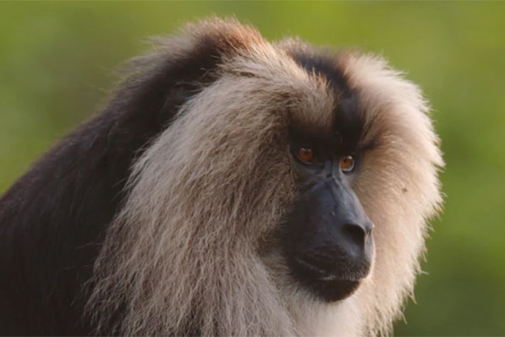 On The Brink – Season 2 – Lion-tailed Macaque