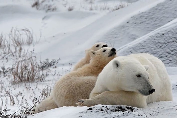 Watch: Without tourists, Churchill's polar bears do what comes naturally