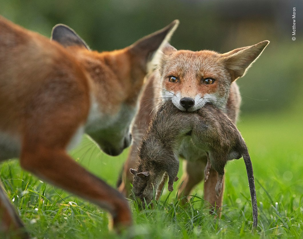 Matthew-Maran-Wildlife-Photographer-of-the-Year-foxes-prey_2020-09-02.jpg
