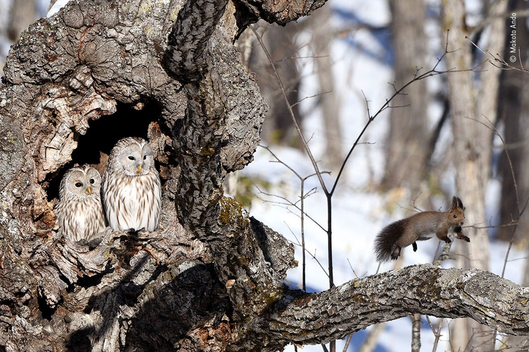 Makoto-Ando-Wildlife-Photographer-of-the-Year-owl-squirrel_2020-09-02.jpg
