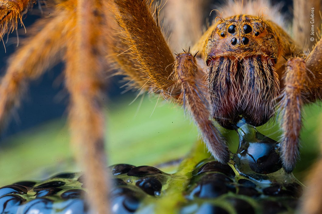 Jaime-Culebras-Wildlife-Photographer-of-the-Year-spider_2020-09-02.jpg