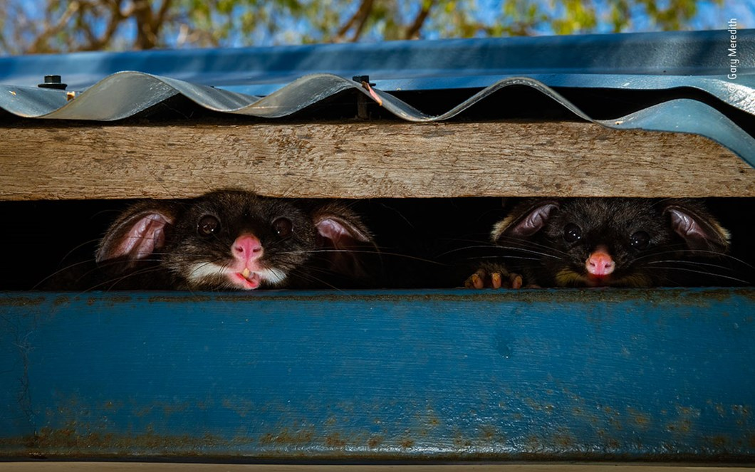 Gary-Meredith-Wildlife-Photographer-of-the-Year-possums_2020-09-02.jpg