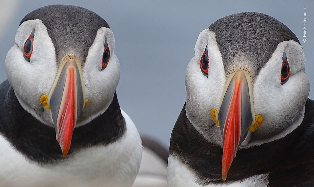 Evie-Easterbrook-Wildlife-Photographer-of-the-Year-puffins_2020-09-02.jpg