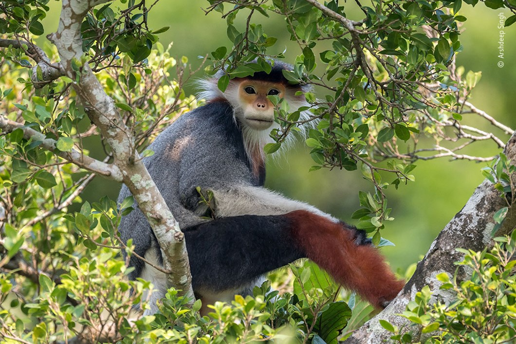 Arshdeep-Singh-Wildlife-Photographer-of-the-Year-red-shanked-douc-langur_2020-09-02.jpg