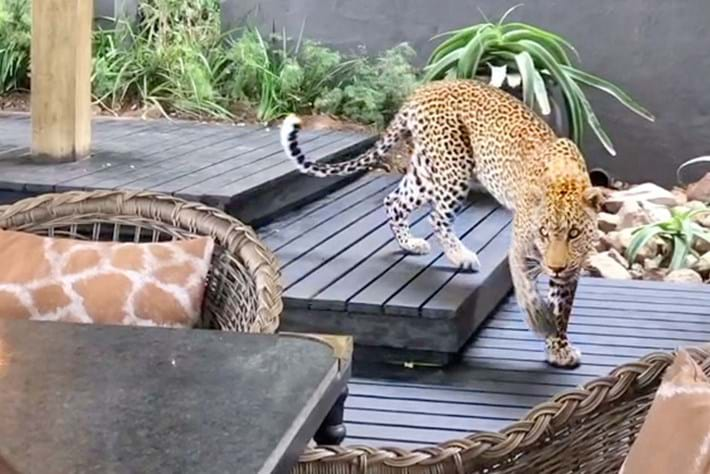 Watch: Leopard casually strolls past diners at a lodge in South Africa