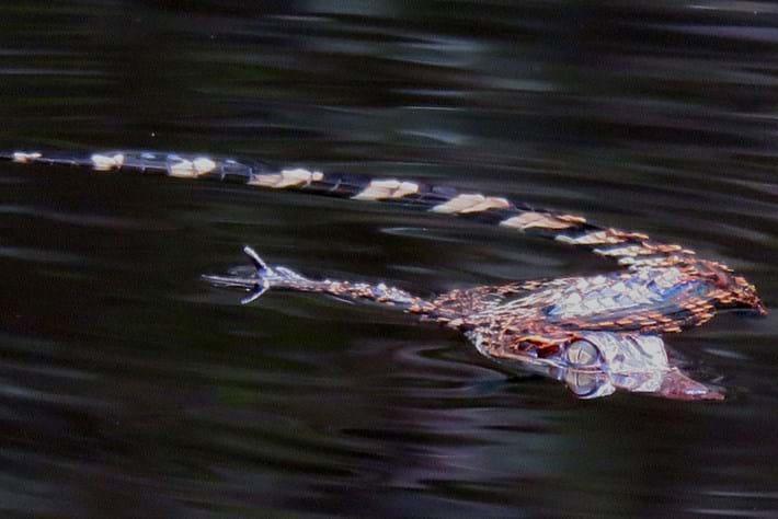 Cambodia welcomes a bumper crop of critically endangered crocs