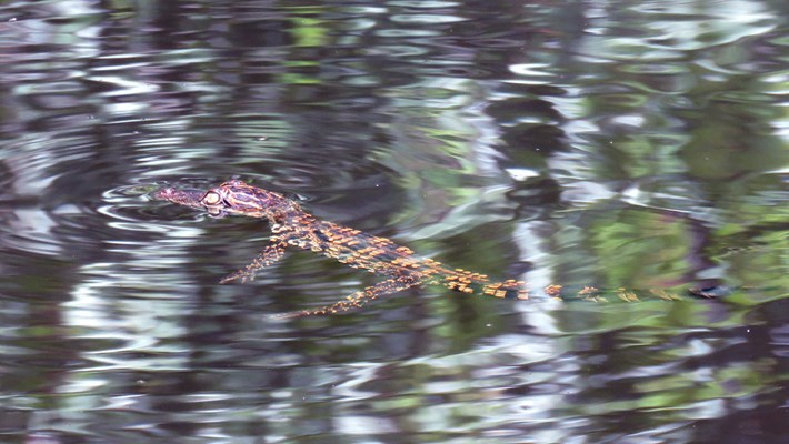Siamese-croc-3_2020-09-14.jpg