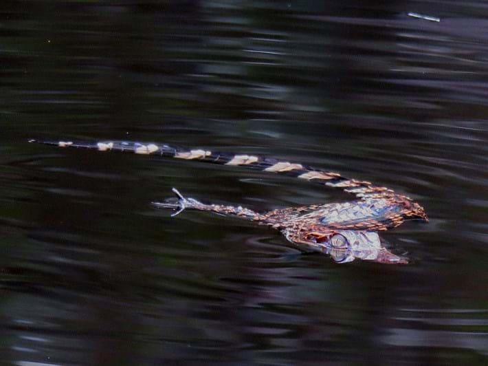 Siamese-croc-2_2020-09-14.jpg